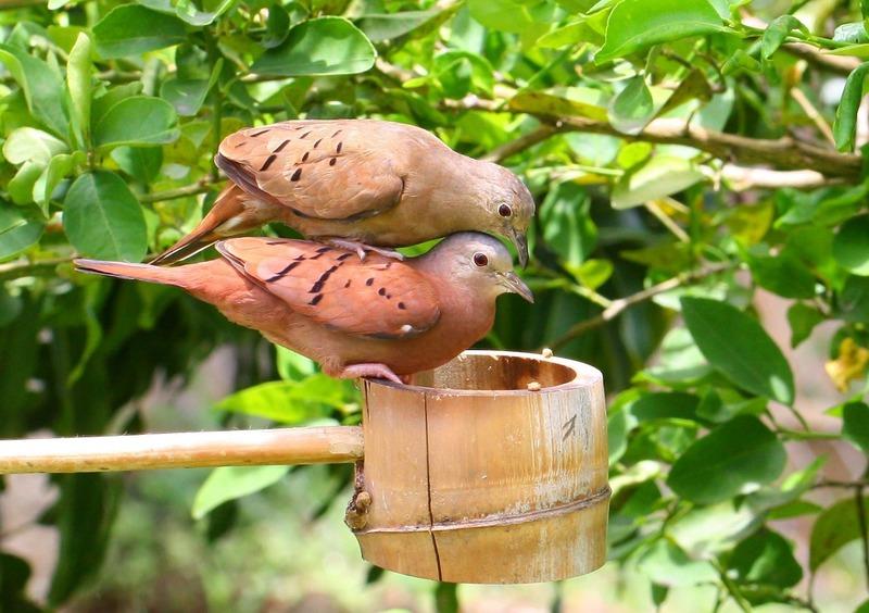 Manfaat Suara Burung Pikatan dan Cara Merawat Burung Hasil Pikatan
