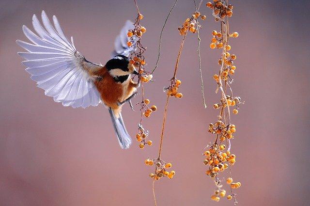 Makanan Burung Pipit