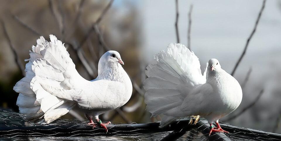 Fungsi Ekor Burung Merpati