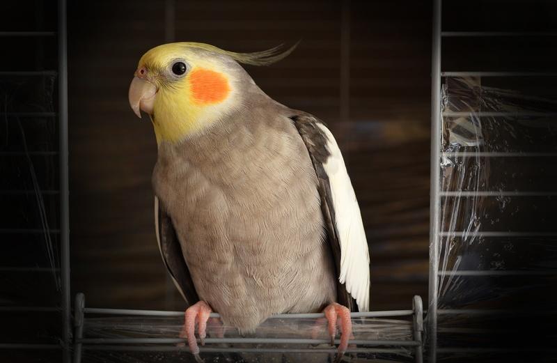 Mengenal Jenis Burung Beo Batu