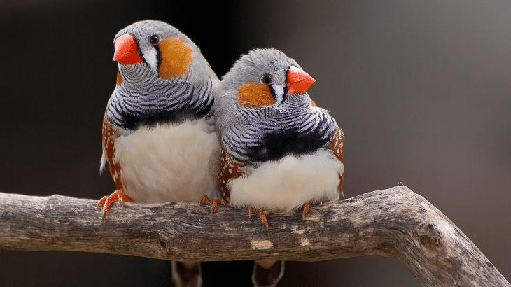 Zebra Finch (Chestnut-Eared Finch)